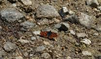 A checkerspot puddling at Lake Valhalla